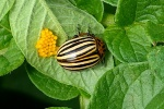 Escaravelho da Batata