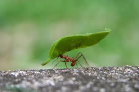 Repelente de Formigas