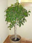 Ficus Chorão
