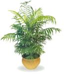 Palmeira-Bambú