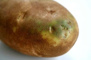 Glicoalcalóides Batatas