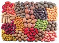 Variedades de Batatas