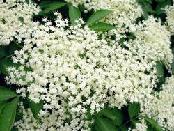 Flores de Sabugueiro