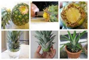 Replantar ananás