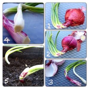 Replantar cebolas